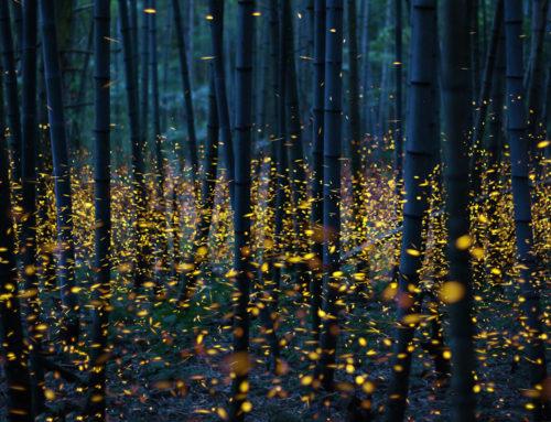 fireflies – august 12, 2018